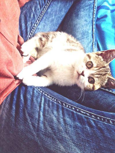 cutiepie Cat Minnie Kitten Britishshorthair