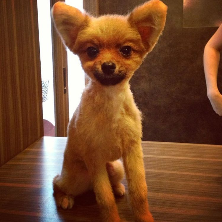 I left Simba at the groomer too long. Poor dog now looks like a Bambi Minipom Pomeranian Pompom Doh gpuppy