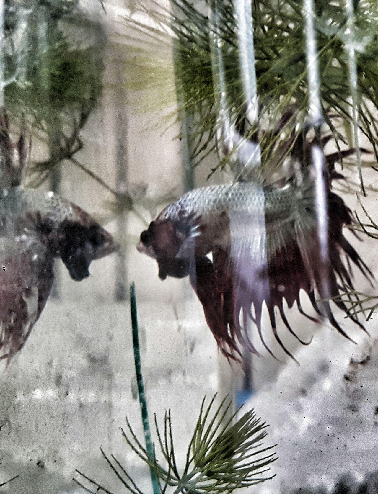 Betta  Bettafish Betta Fish Bettafishcommunity Fighting Fish Dragon Betta