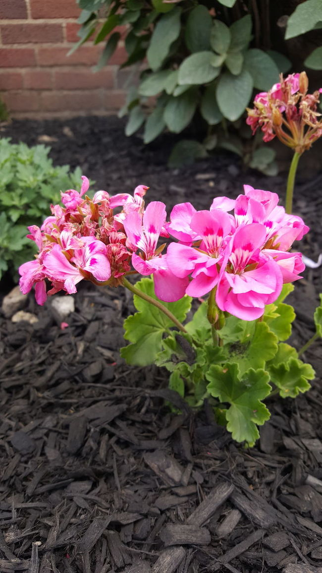 Pink Flowers Green Leaves Multch Soil Growing Pretty Beautiful Nature Outdoors Plant Natural Beauty Summer Photography Outside Flourishing Plants Jrosemarieb