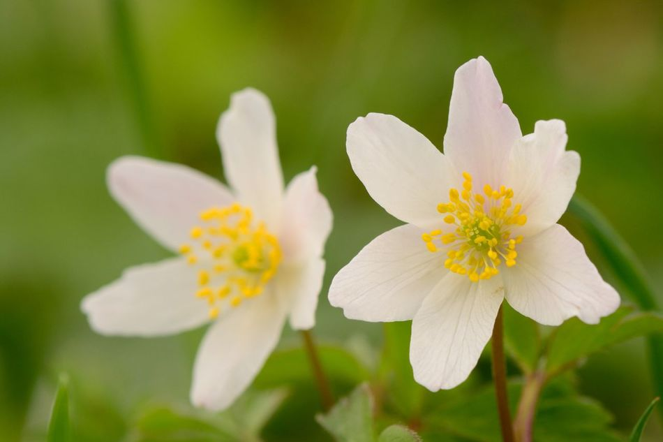 Beauty In Nature Blooming Check This Out Close-up Day EyeEm Best Shots Flower Flower Head Fragility Freshness Growth Macro Nature No People Outdoors Petal Plant Selective Focus Spring Spring Flowers Taking Photos White White Background Wildflowers Wood Anemone