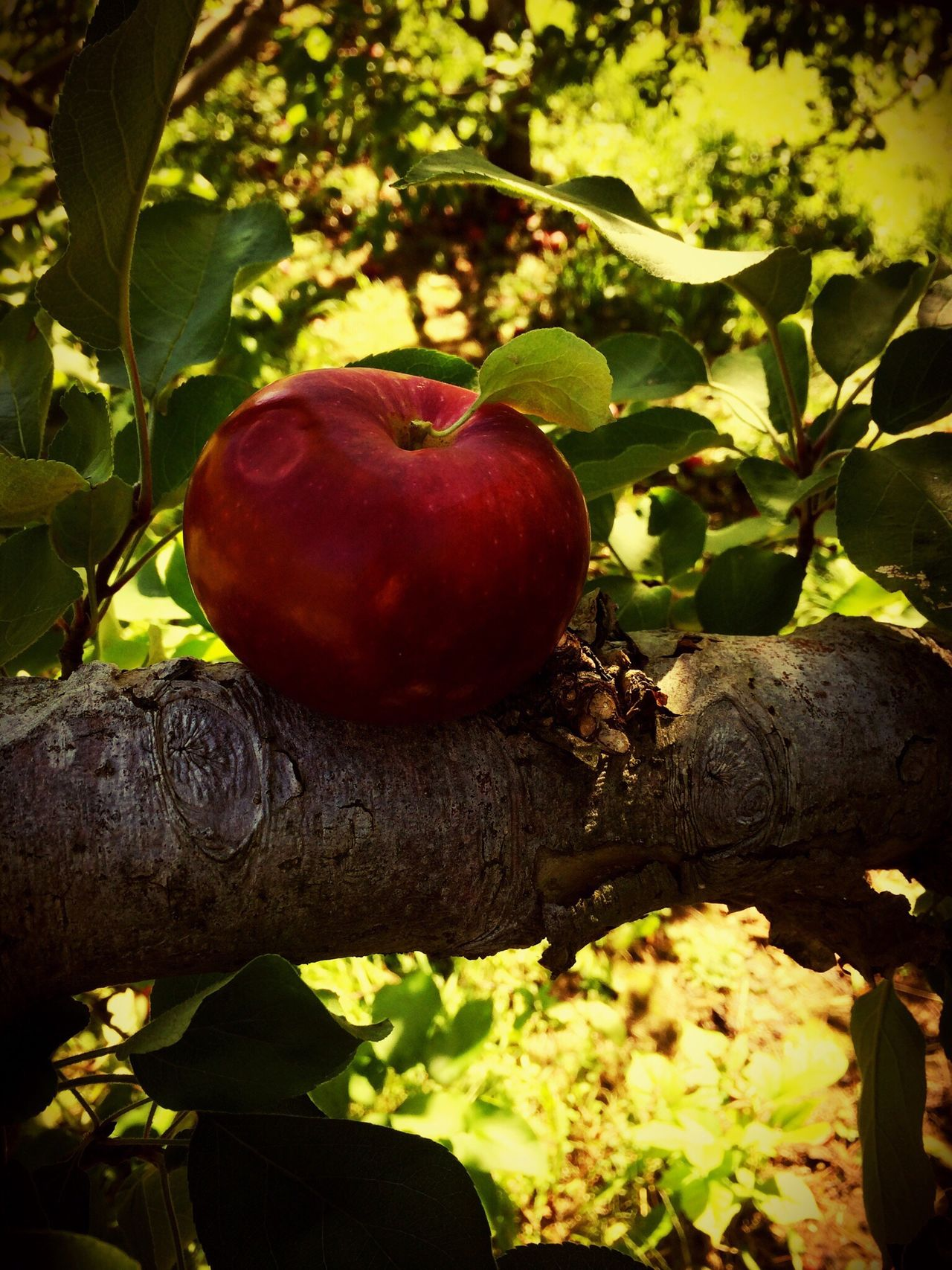 Apple Dented Apple Picking Apple Tree