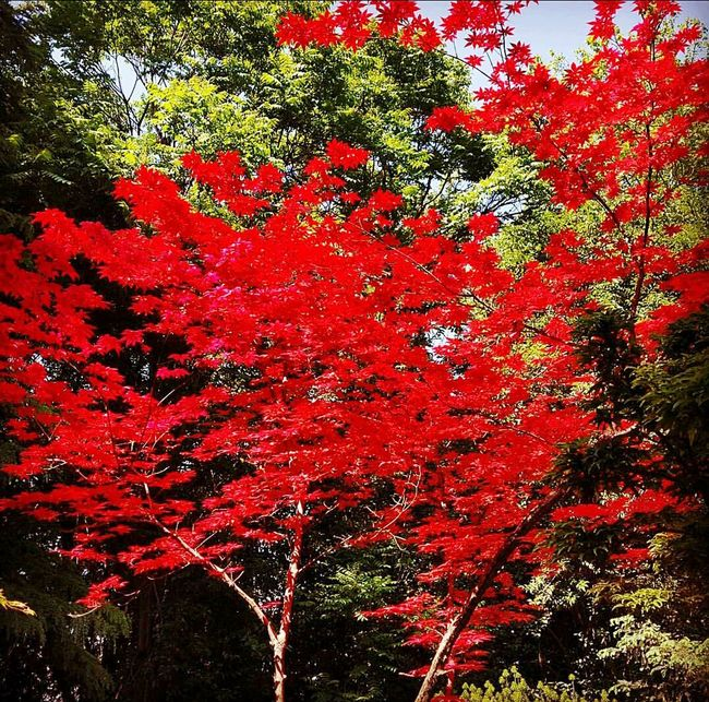 Tree Tree And Sky Redtree Nature Beautifulday Bluesky Rouge Rosso Amazing Nature Goodmorning :) Red&green Red&blue it's gonna be a good day, Goodvibes First Eyeem Photo