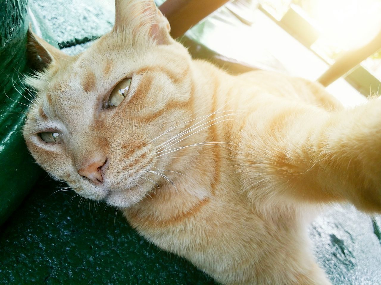 My orange tabby is taking a selfie Pets One Animal Close-up Animal Themes Domestic Animals Cats Of EyeEm Cat Orange Tabby Selfıe No People