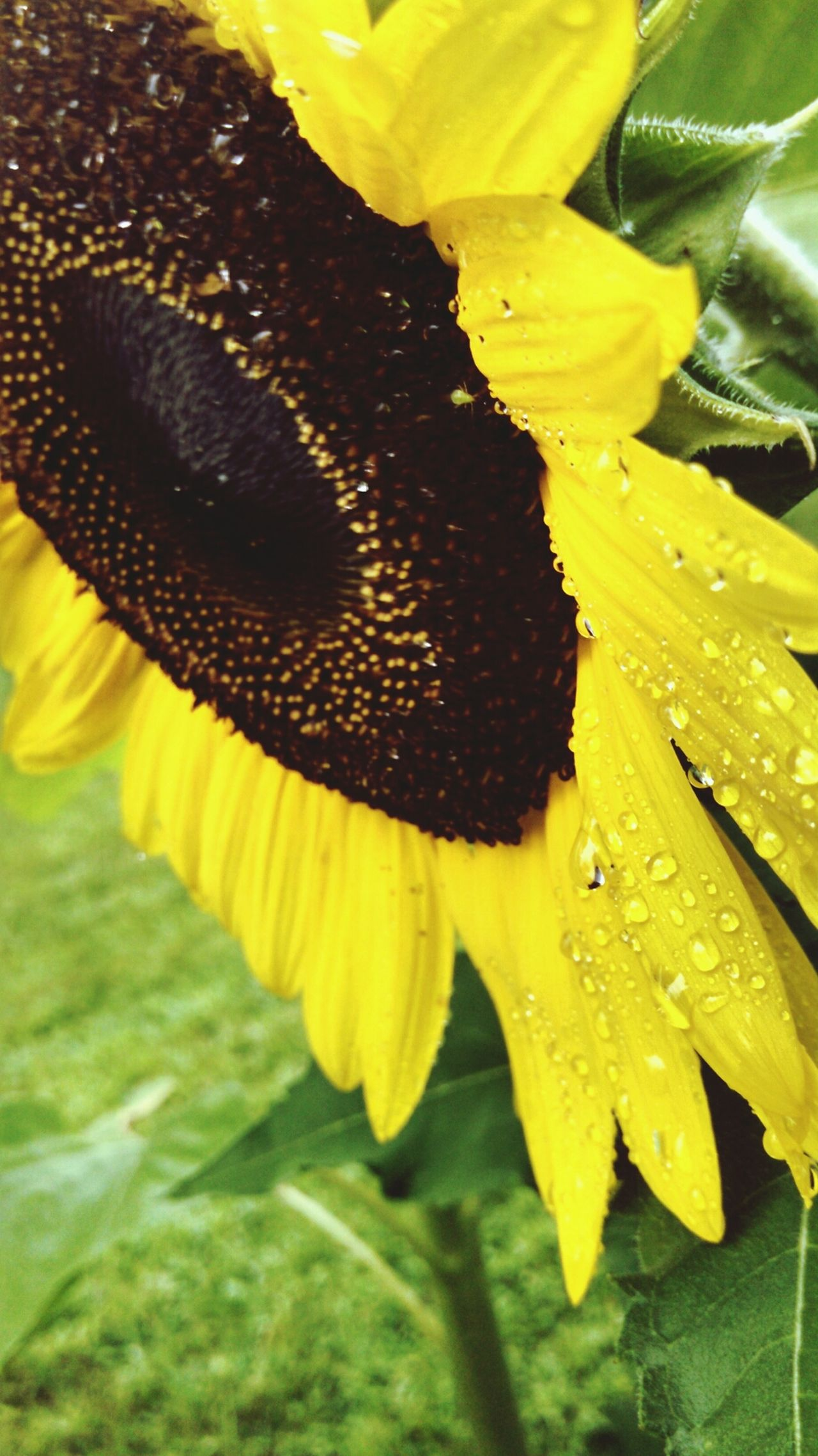 Sunflower After The Rain Up Close Eye For Photography