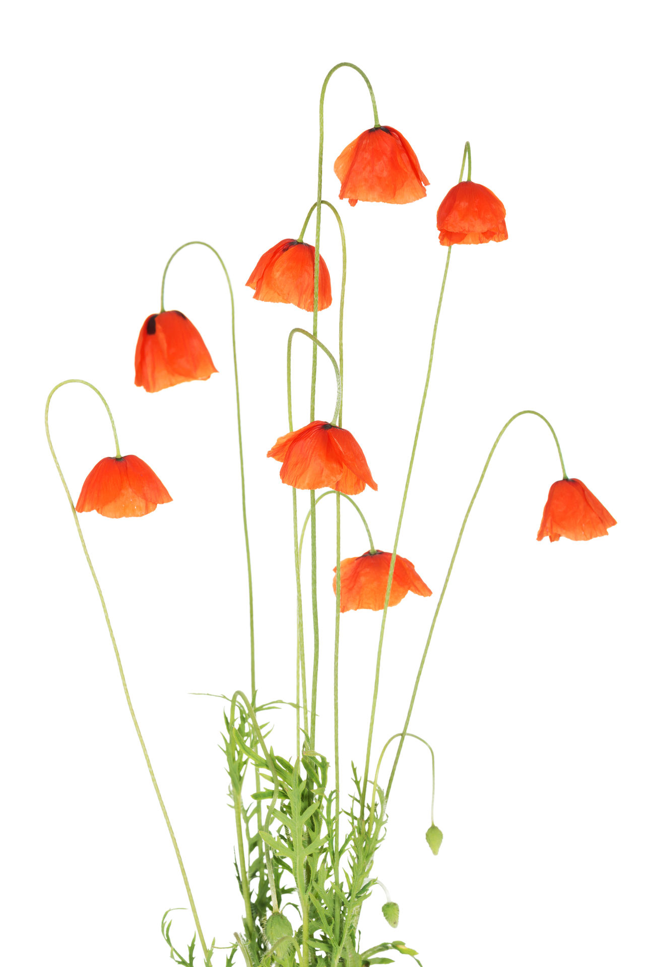 Beauty In Nature Flower Flower Head Nature No People Poppy Poppy Flowers Red Studio Shot White Background