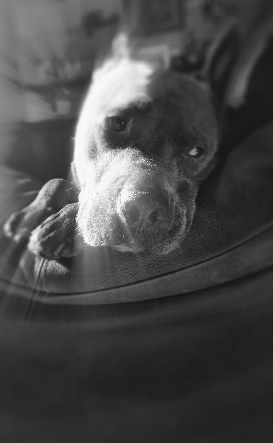 One of my Sunshines - Sharky - One Animal Pets Domestic Animals Animal Themes Dog Animal Head  Close-up Mammal Front View Relaxation Zoology Loyalty Animal Nose Focus On Foreground Pampered Pets Looking Animal Hair Animal pit bull PXL8IT Dog Love