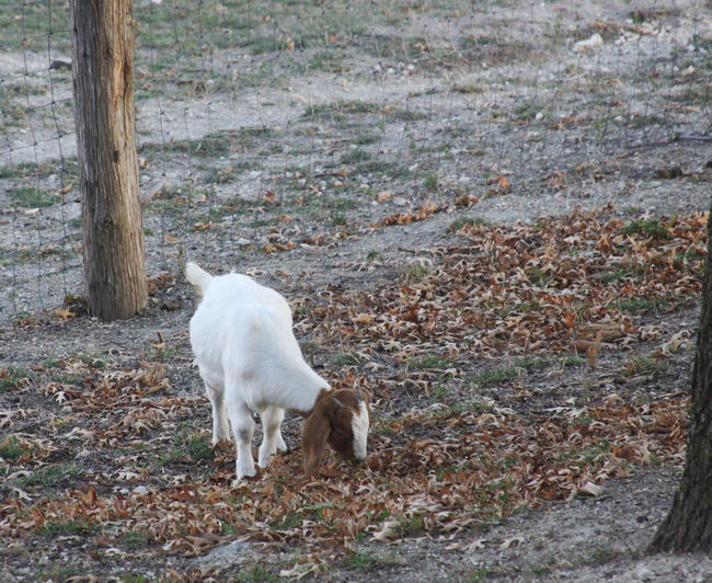 Animal Themes Day Dog Domestic Animals Goat Kid Goat Mammal Nature No People One Animal Outdoors Pets Standing Tree