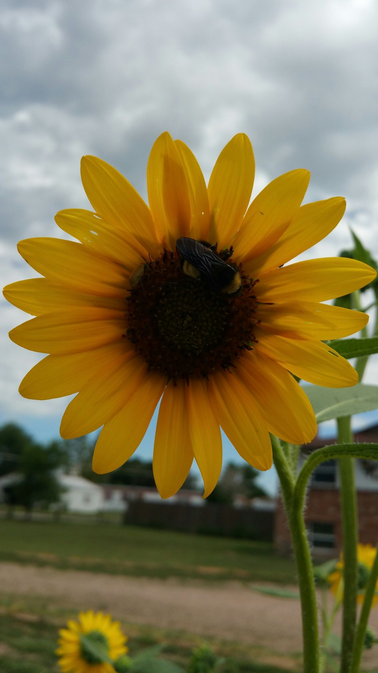 Nice Big Sunflower A Bumblebee Clouds In The Sky Nature Bright Yellow Petals