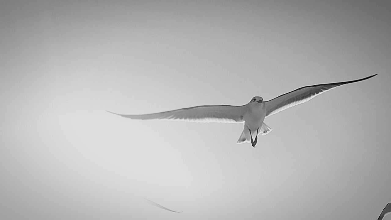 Seagull in black and white Flying Bird Animal Wildlife Sky Motion Spread Wings Animal Outdoors Freedom Mid-air No People Seagull Flying Bird Close-up