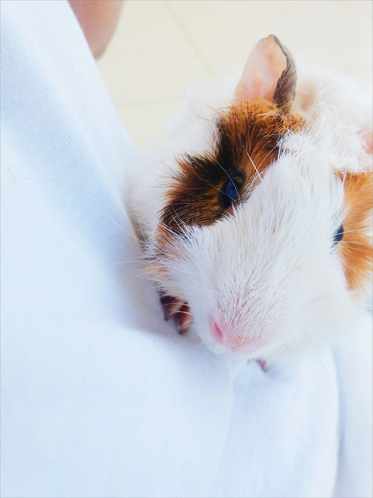Beautiful stock photos of guinea-pigs,  Animal Head,  Animal Themes,  Brown,  Close-Up