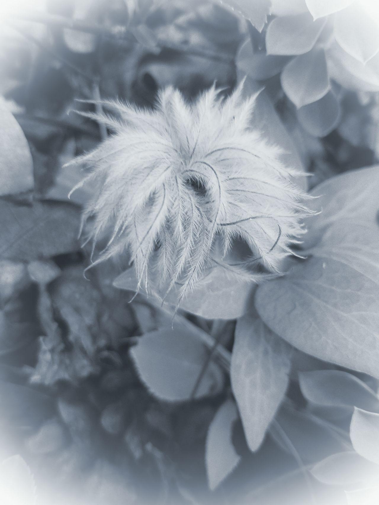 FLuFFY PASSION FLOWER Dry Flower  MUR WHITE Still Life Fine Art The Song Of Light Botany Beauty In Nature Fragility Softness Birdeyeview MUR B&W Monochrome Photography