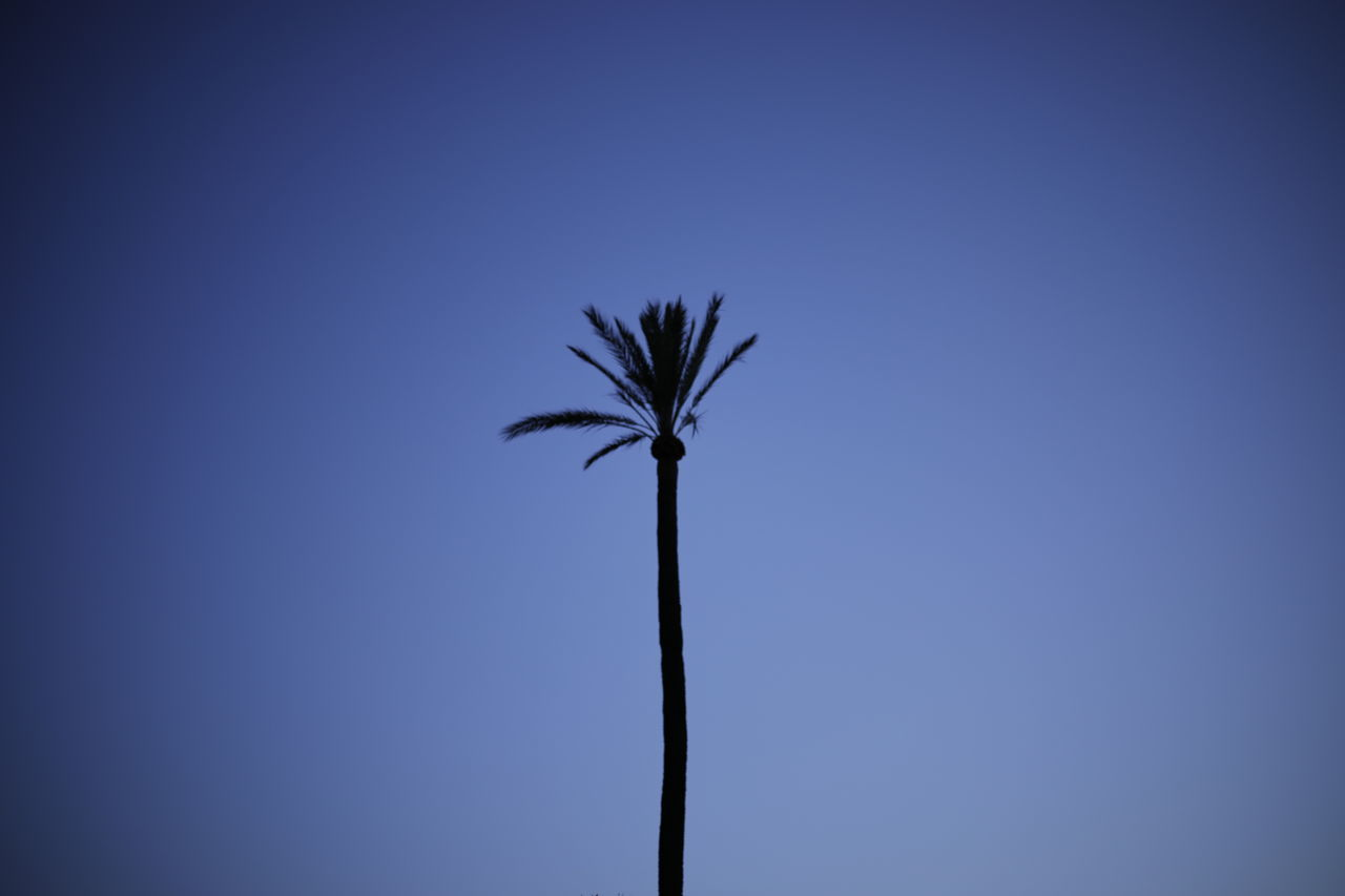 palm tree, low angle view, clear sky, nature, beauty in nature, no people, tree, outdoors, blue, day, sky, close-up