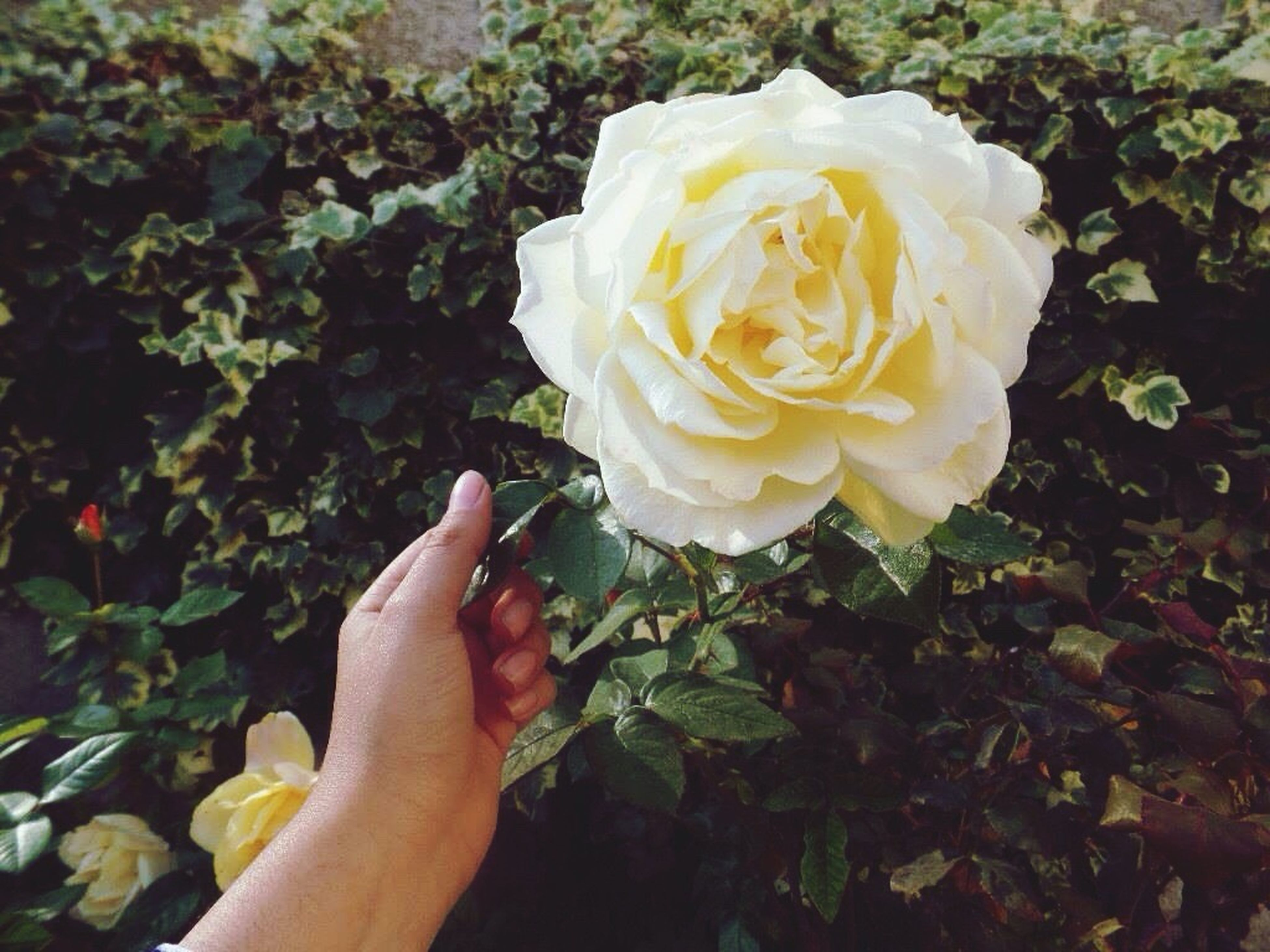 flower, person, rose - flower, petal, holding, fragility, flower head, freshness, lifestyles, personal perspective, rose, single flower, leisure activity, part of, beauty in nature, unrecognizable person
