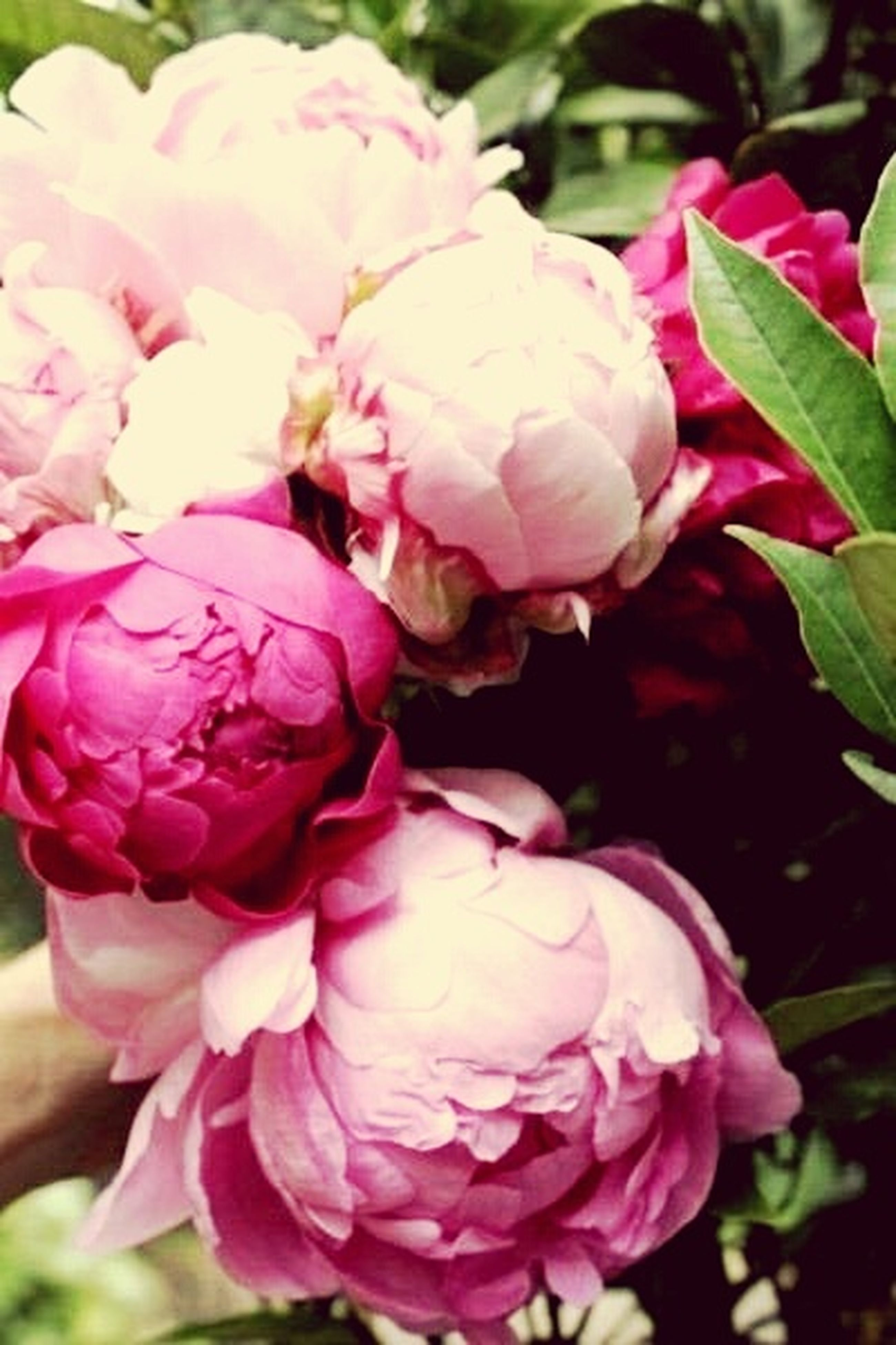 flower, petal, freshness, fragility, flower head, pink color, beauty in nature, close-up, growth, rose - flower, nature, focus on foreground, blooming, pink, plant, in bloom, blossom, park - man made space, botany, rose