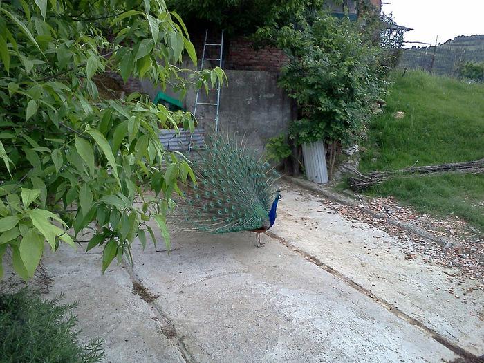 Pavo Cristatus Linnaeus Day Nature No People One Animal Outdoors Pavone Con Ruota Peacock