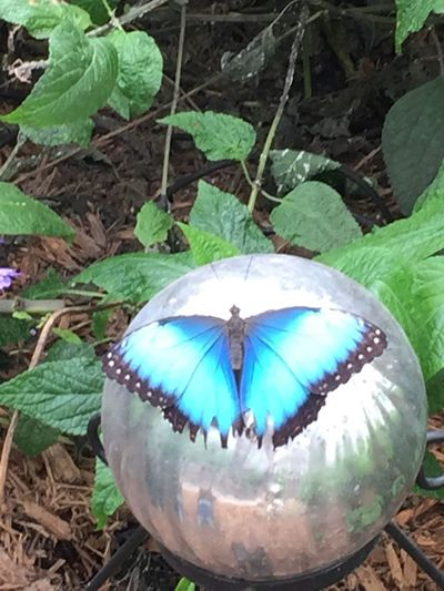 A blue morph butterfly
