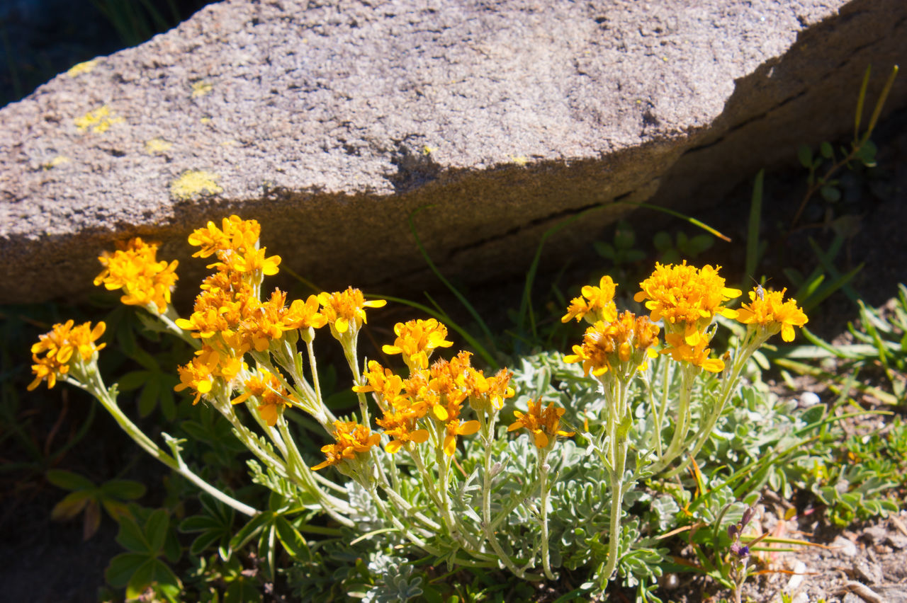 flower, nature, yellow, day, outdoors, growth, beauty in nature, no people, plant, freshness, fragility, close-up, flower head