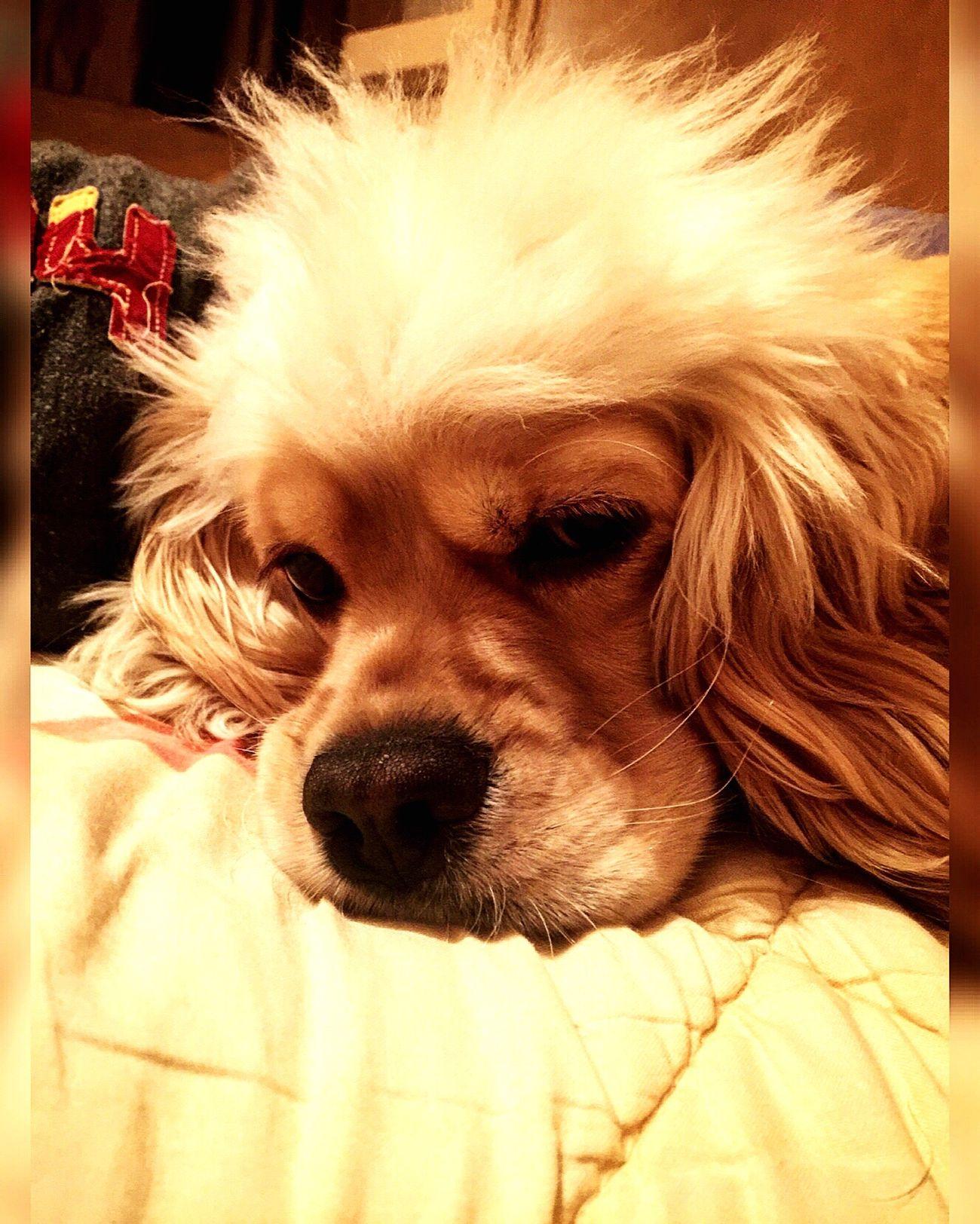 Goodnight Pets Dog Resting Goodnight First Eyeem Photo Eyem Gallery Eyemphotos Eyemdog Puppy Puppy Love Blonde Lovely