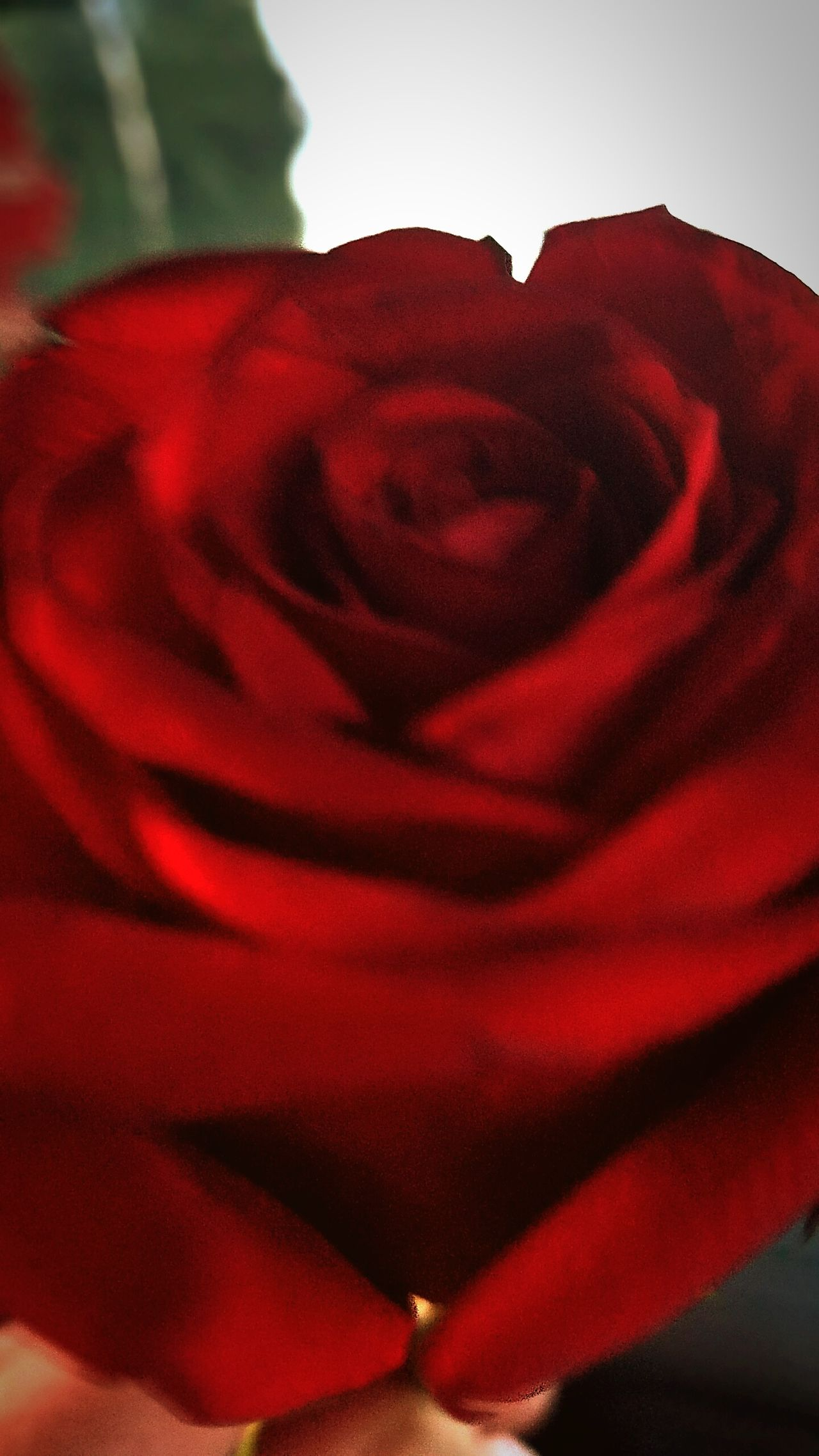 $Roses Are Red Close-up Red Petals Of Roses Stop To Smell The Roses Shadowing Shades Of Red Blush Rosy Rosé Flower Gifts Of Nature