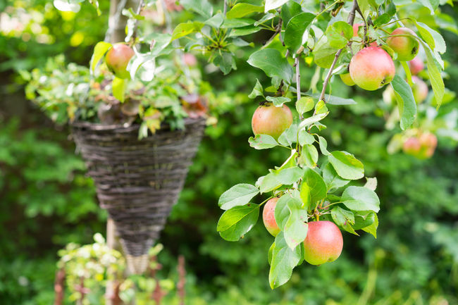 Apple Tree Apples Beauty In Nature Blossom Botany Branch Close-up Day Flower Focus On Foreground Fragility Freshness Green Green Color Growth In Bloom Leaf Nature No People Outdoors Petal Pink Color Plant Springtime Tranquility