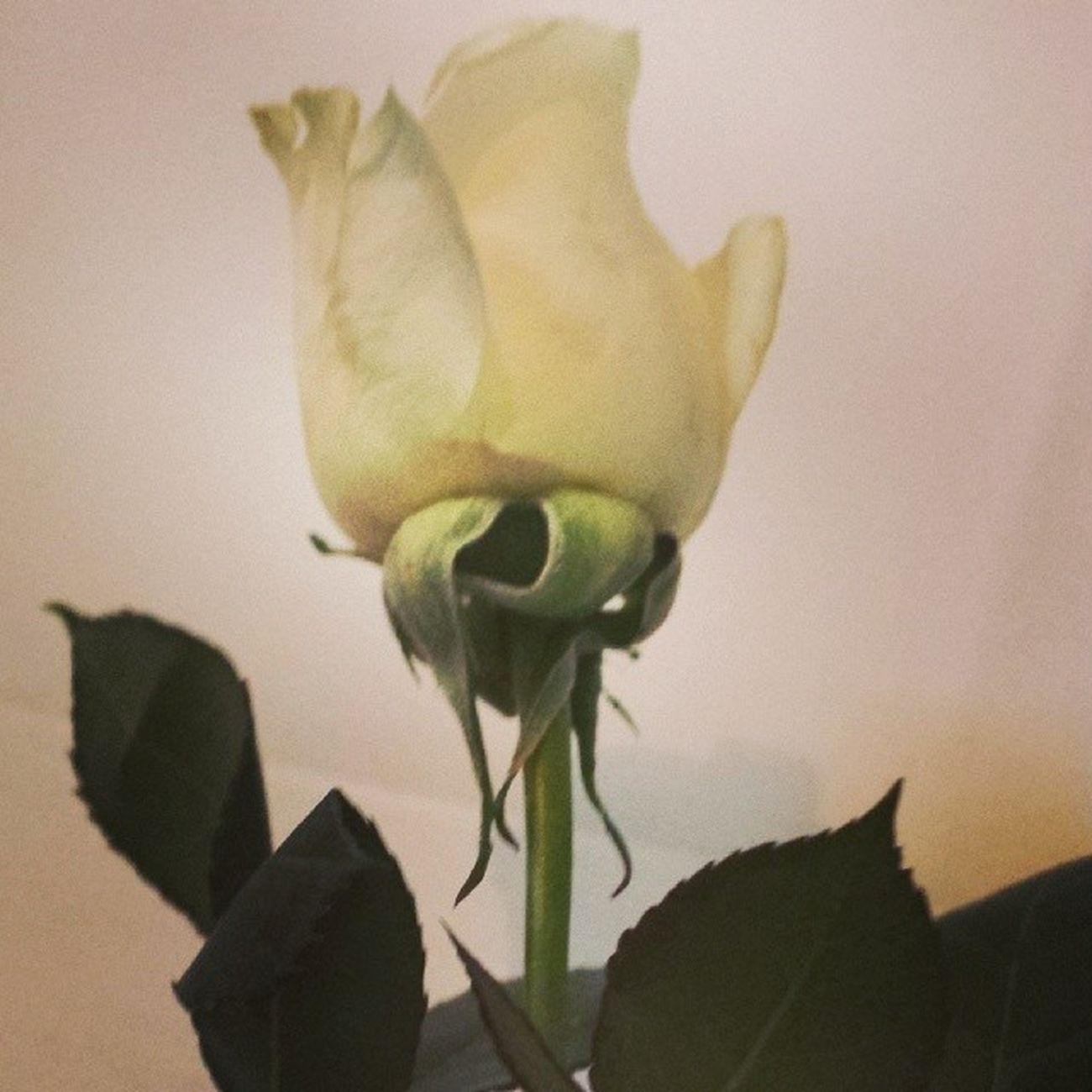 My waiter gave me a rose!!!! Dinner Ruthschris Ruthschrissteakhouse Flower rose romantic romance cute cutie hot