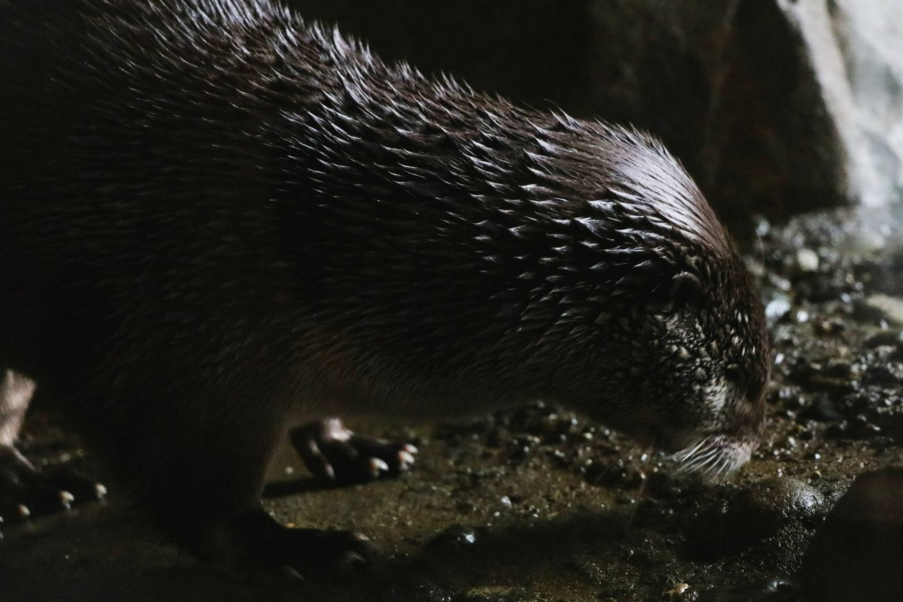 Right before he💩 Animal Themes One Animal Mammal Animals In The Wild Animal Wildlife Nature Close-up Otter Textures And Surfaces Beauty In Nature Shadows & Lights Animals In The Wild Darkness Dark Creative Light And Shadow RiverOtter Otters Furry Textures Texture And Surfaces