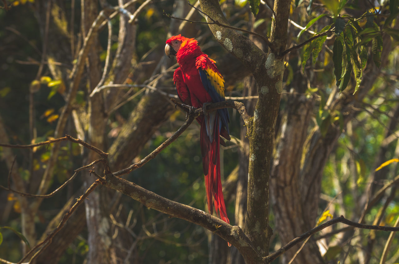 Animal Wildlife Bird Bloody Tears Branch Castlevania Central America Copan Copan Ruinas Honduras Jungle Jungle Life Life Macaw Macaws Nature Nicaragua On Parrot Perching Red Ruins Scarlet Scarlet Macaw Tree