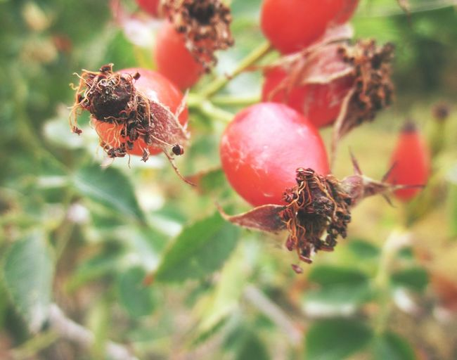 Rosa canina Rose Hip Macro Photography Nature's Diversities Tranquil Days Close-up Focus On Foreground Golden Autumn Dried Plant EyeEm Nature Lover Autumn Colors Autumn 2016 Autumn Portrait Autumn Fruits Beauty In Nature Red Fruit Rosa Canina Focus Object Maximum Closeness