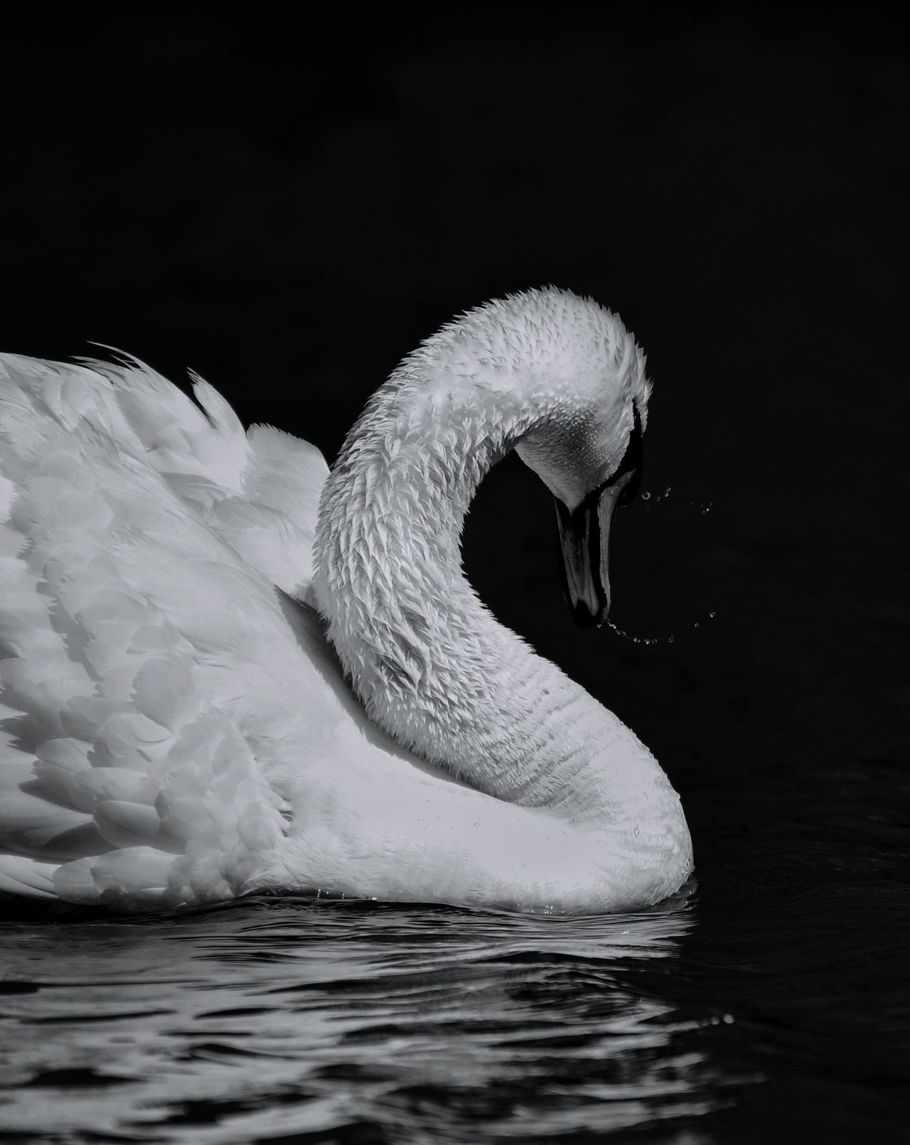 Bird Swimming One Animal Animals In The Wild Swan Animal Wildlife Animal Themes No People Water Black Background Nature Outdoors Day Blackandwhite Black&white Texas Photographer Black And White Collection! Animals In The Wild EyeEm Gallery Black And White Collection  Eyeemphotography Blackandwhite Photography