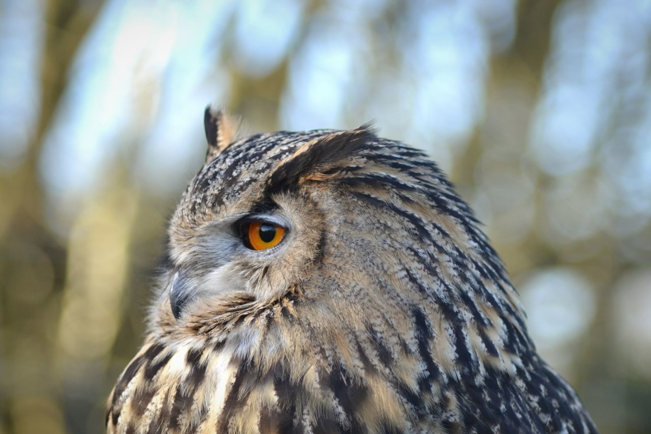 A eagle owl at the british wildlife center. Owl Eagleowl Captive Brown