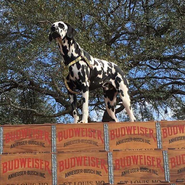 Budweiser Barley .... Budweiser Dalmatian Dog Streetphotography Connected With Nature Eye4photography  EyeEm Best Shots