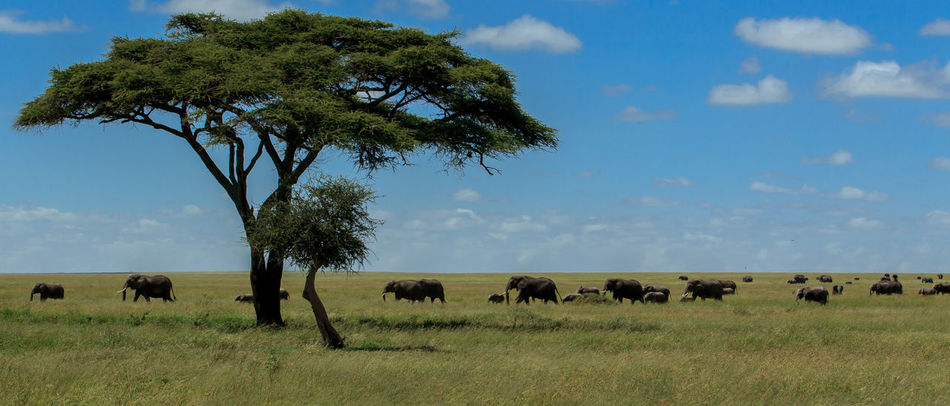 A postcard from the Serengeti, Tanzania. Dozens of African Elephants with their calves walk in a distance with the Acacia tree in the background along the Serengeti plains during the afternoon looking for shade and water. Acacia Tree Africa African Elephant Animal Themes Animals In The Wild Banner Beautiful Beautiful Nature Beauty In Nature Beauty In Nature Blue Sky Elephants Landscape Large Group Of Animals Nature Nature Nature Photography Out Of Africa Postcard Poster Serengeti National Park Tanzania Wildlife Wildlife & Nature Wildlife Photography