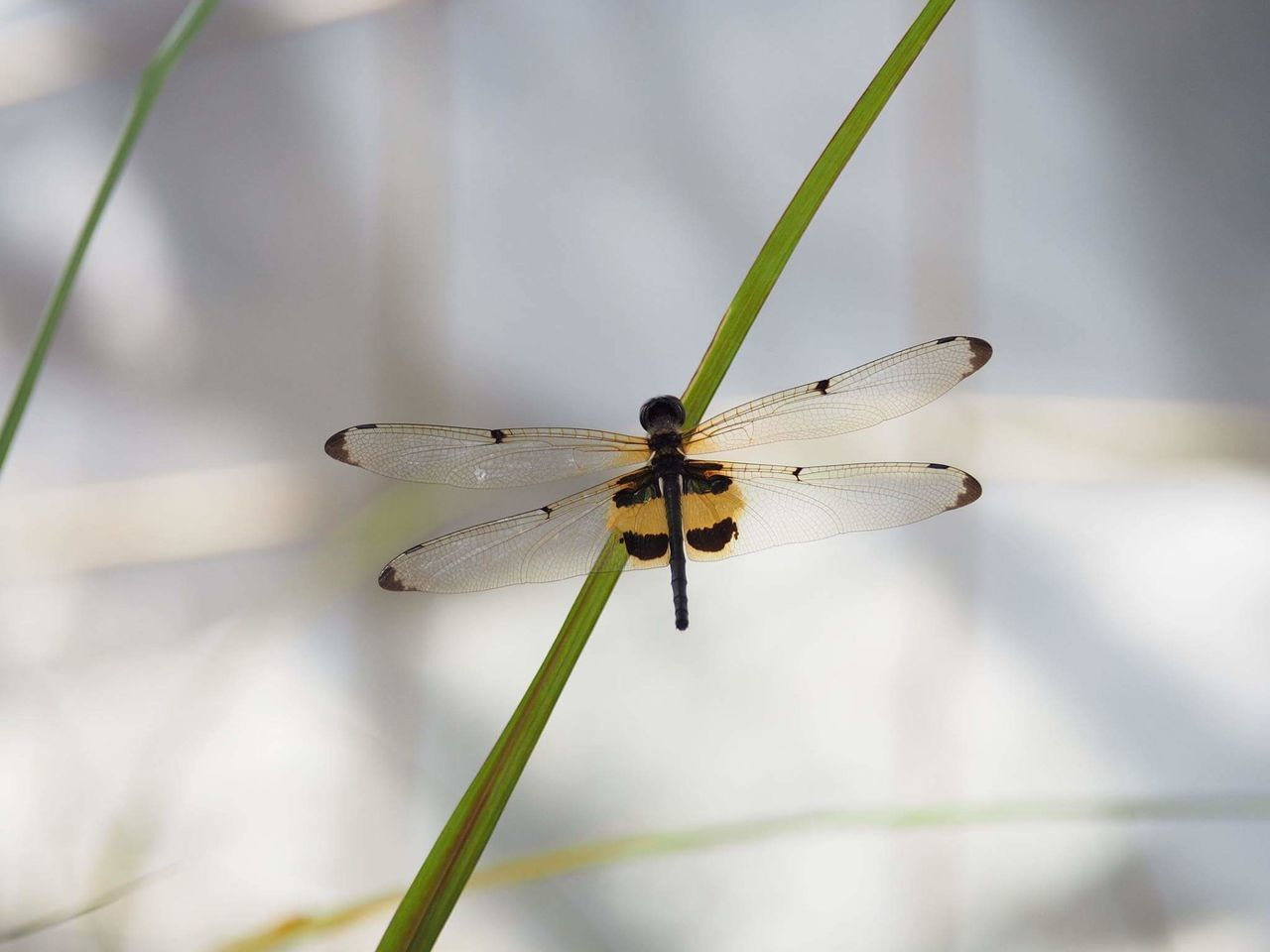 Insect Dragonfly Dragonfly_of_the_day Dragonfly Photograohy Dragonfly💛 Dragonfly Nature Insects Dragon Fly Dragonflies Dragonfly Like Bees Bee Fly Insect Photography Insect Paparazzi Insects Collection Nature Animal Wing Outdoors