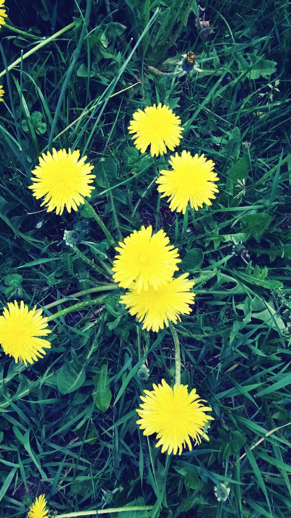 Flowers Garden Pissenlit Sun