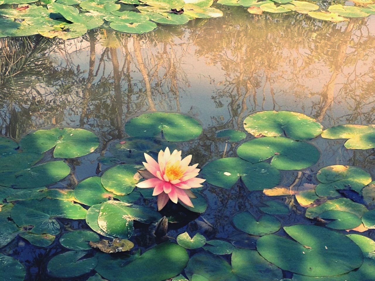 leaf, growth, flower, plant, nature, green color, beauty in nature, no people, day, outdoors, freshness, water lily, fragility, petal, lily pad, floating on water, water, close-up, lotus water lily, blooming, flower head, tree