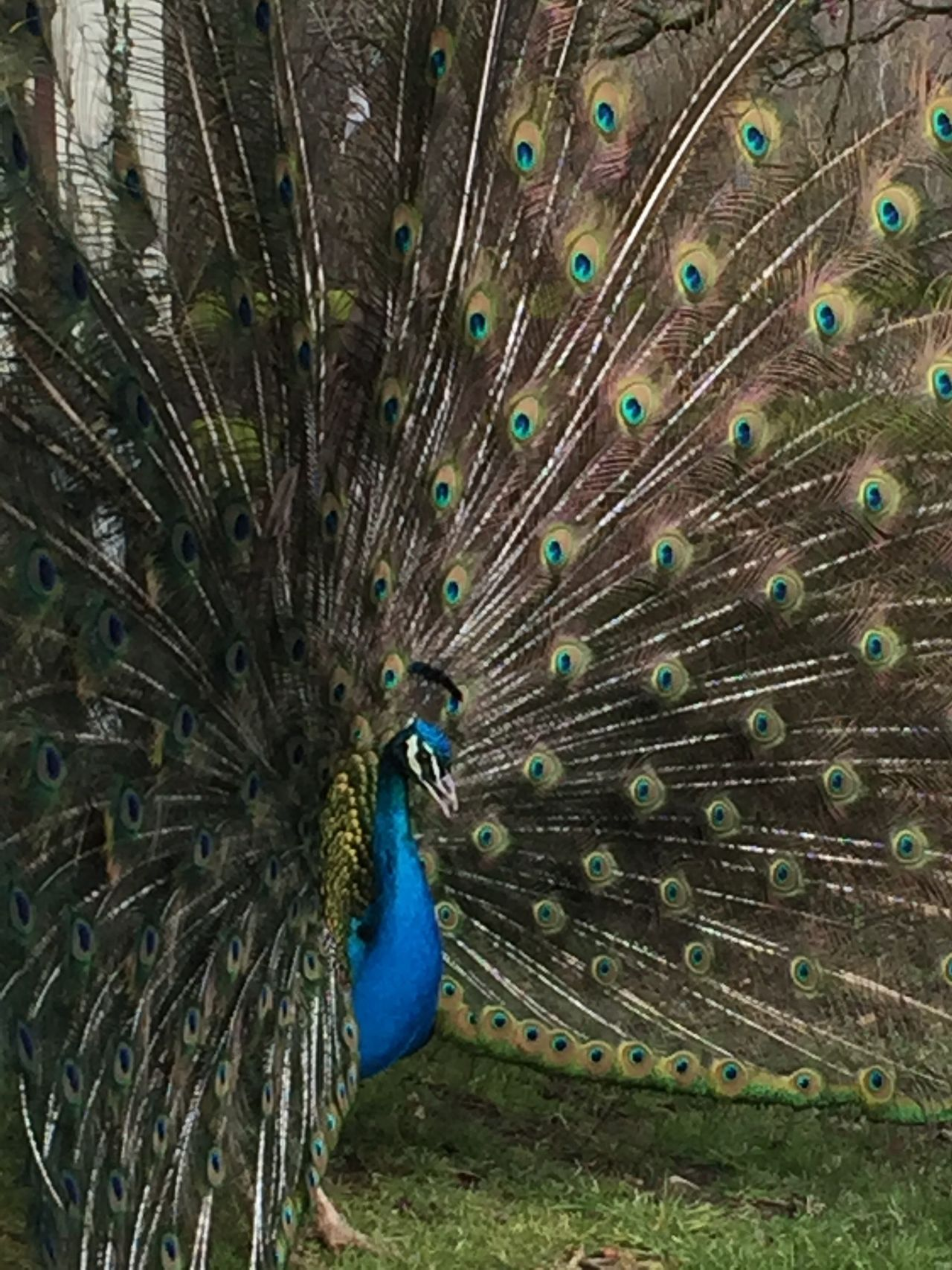Peacock One Animal Bird Fanned Out Peacock Feather Animals In The Wild Animal Themes Feather  Beauty In Nature Nature Animal Wildlife Outdoors No People Day Peacock Feathers Peacock Blue Birds Peacock Tail
