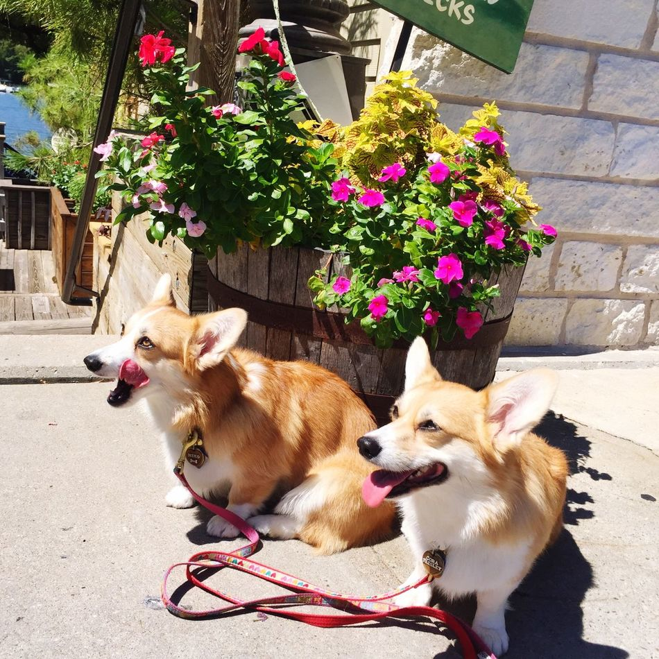 Beautiful stock photos of corgi, Animal Themes, Austin, Coffee Shop, Day
