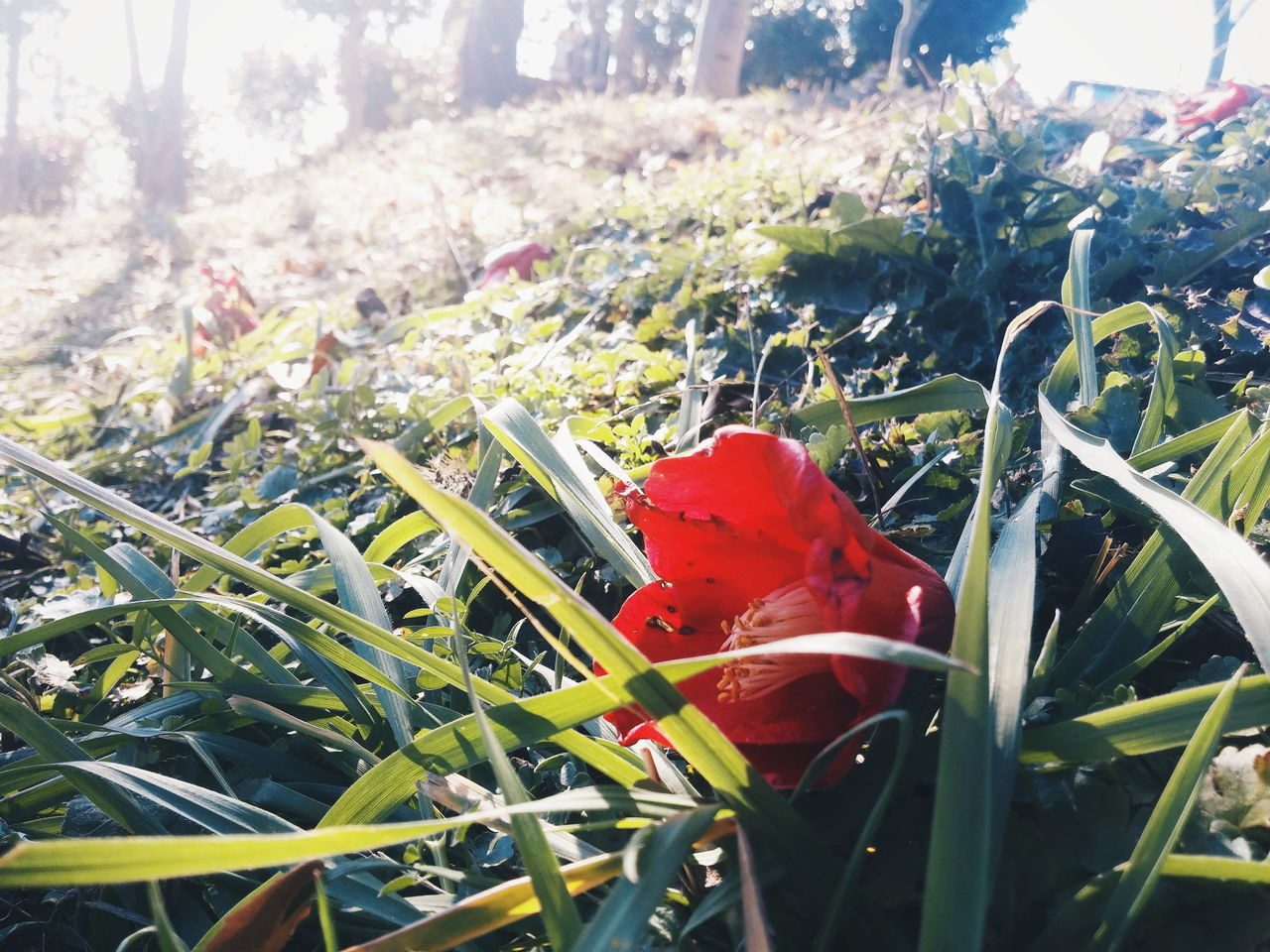 Red camellia laid carefully on the grassy area Camellia Flower Grass Field Nature Fallen