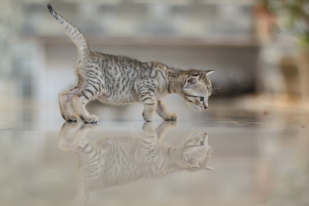 Cute kitten reflection Animal Breed Cat Cub Cute Day Deft Domestic Cat Feline Furry Gray Hair Isolated Kitty Little Looking Mammal No People One Animal Outdoors Paw Pedigree Predator Soft Striped Young