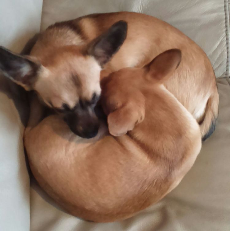 Yin yang Puppies Yin Yang Puppies My Puppies Cute Puppies Dog Dog Lover Chinese Style Chinese Symbols Chihuahua PuppiesDogs My Dogs Dog Lovers Chihuahuas Small Dogs  Little Dog Tiny Dog Tiny Dogs Puppy Yin & YangYinyangCanine Puppys K9 ChihuahuamixChihuahua