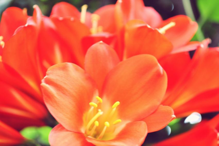 Flower Petal Beauty In Nature Fragility Flower Head Freshness Nature Growth Blooming Orange Color Close-up No People Day Outdoors Red