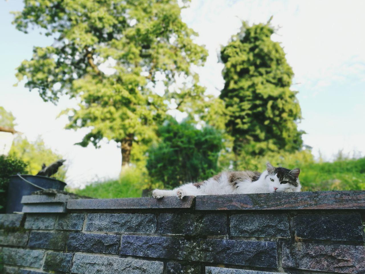 Lazy Day Cat Hanging Out Nature Animal Pet Germany Odenwald  Momart Hessen Natur Deutschland Tiere Haustier Katze Mauer Auf Der Mauer, Auf Der Lauer... Grün Blau Granit