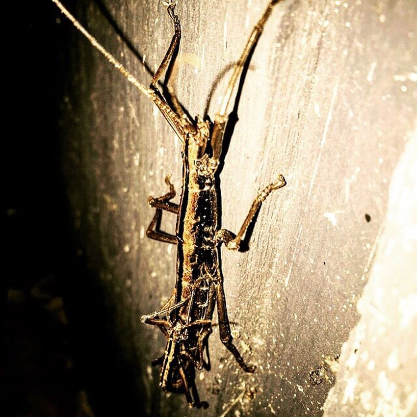 Home Texas Walking Stick Bugs Nature