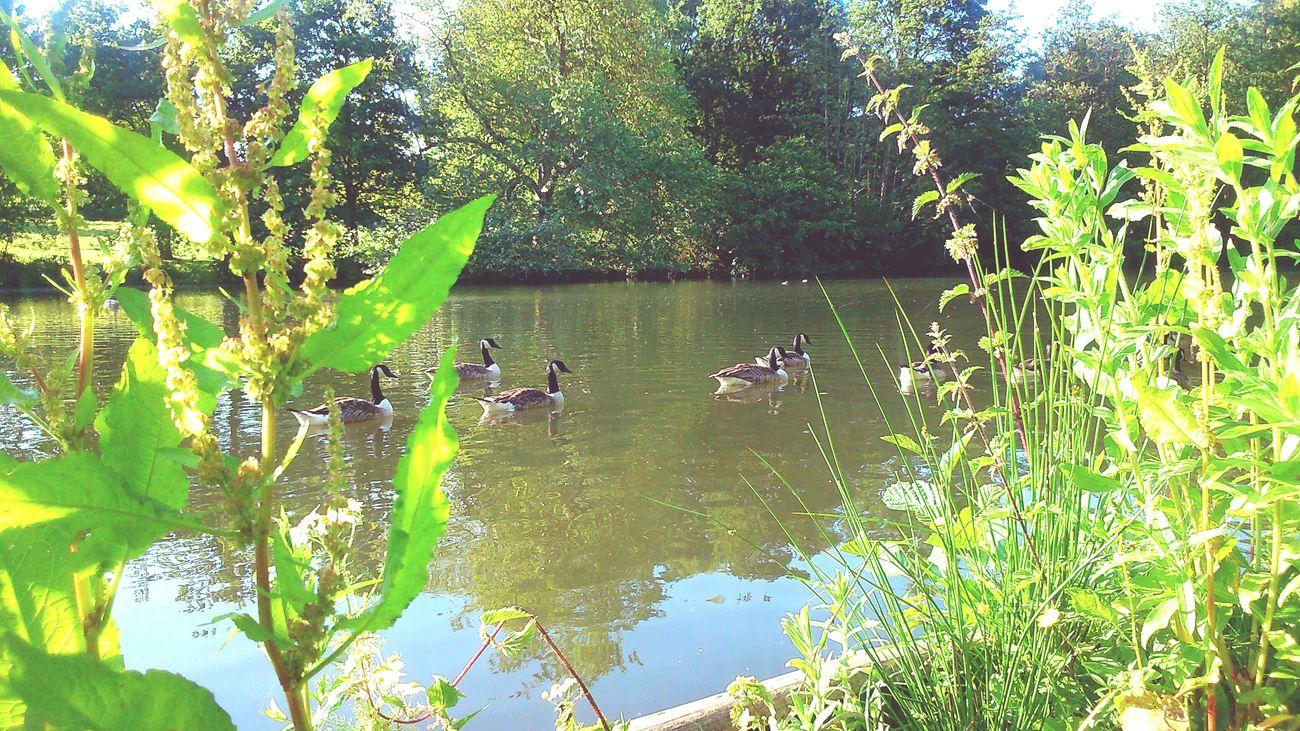 Wild Life Geese Lake View