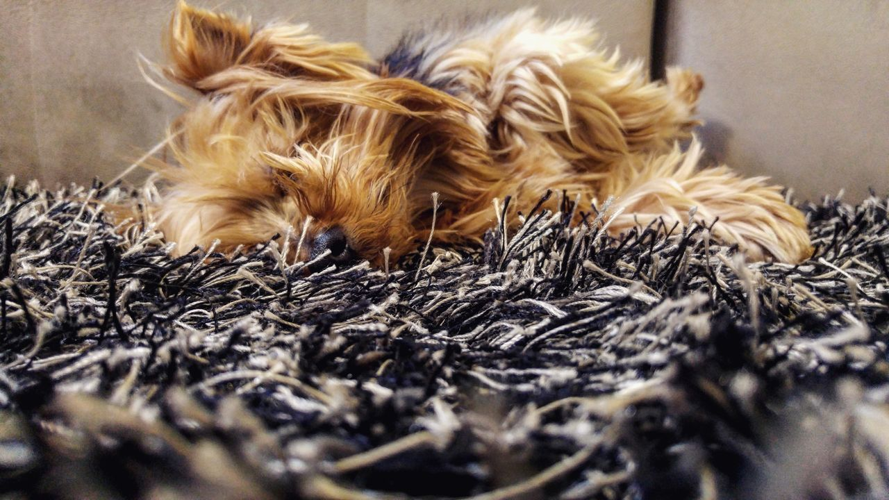 domestic animals, pets, animal themes, dog, mammal, one animal, animal hair, indoors, selective focus, no people, close-up, day