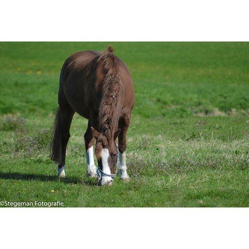 """""""paard"""" Paard Horse Grazen Nederland netherlands"""