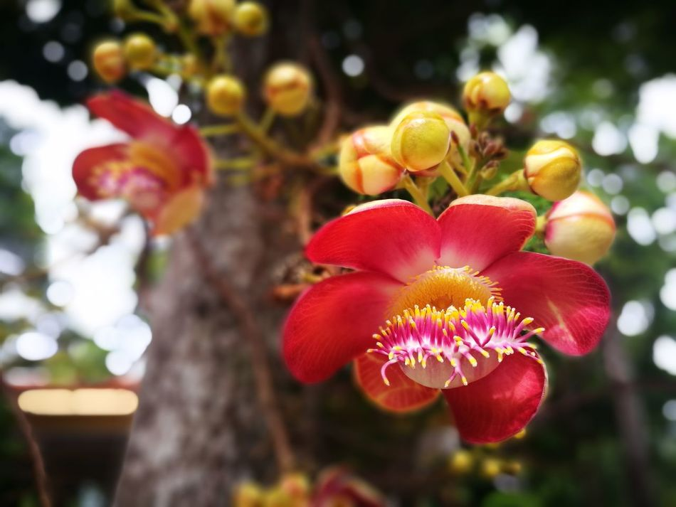 Couroupita Guianensis Flower Freshness Close-up Flower Head In Bloom Beauty In Nature Focus On Foreground Springtime Blossom Selective Focus Botany Plant Nature Petal Tree Flower Freshness Fragility Growth Petal Close-up Flower Head Blossom In Bloom