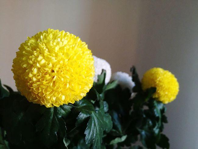 Fresh Flowers To Brighten The Day | Yellow White Pompom Chrysanthemum Flowers | EyeEm Nature Lover Flowerporn