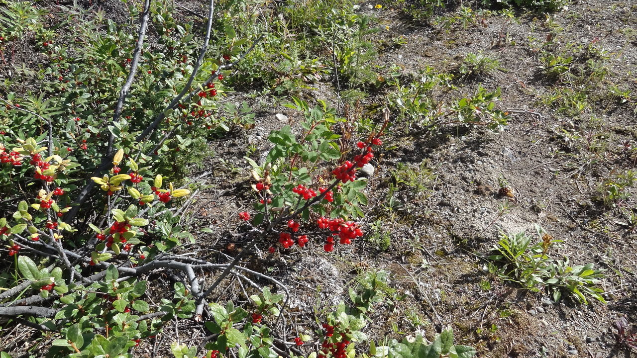 Beauty In Nature Canada Close-up Day Flower Freshness Fruit Growth Kathleen Lake Kluane National Park & Reserve Nature No People Outdoors Plant Red Yukon